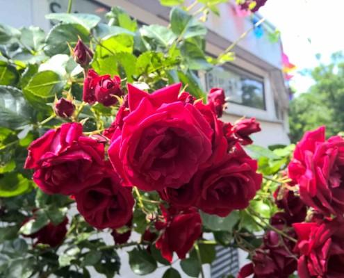 rozen haarlem roos haarlem schalkwijk buurthuis samenmetdebuurt