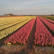 Hyacintenveld tot aan de horizon in Breezand.