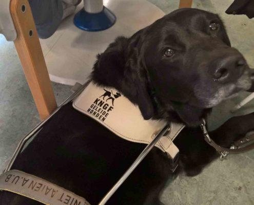blindengeleidehond hulphond